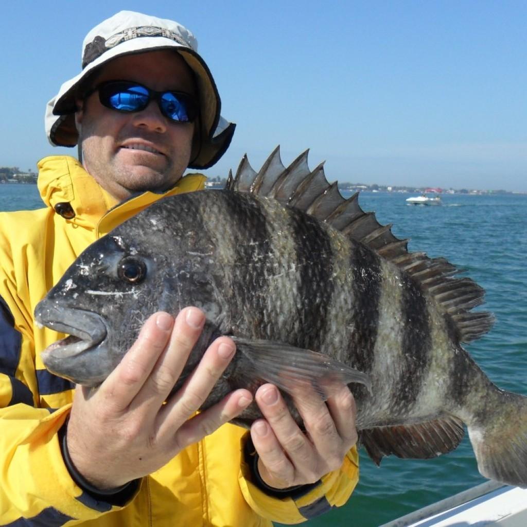 Tampa Bay Fish Species - Captain Matt Fishing Charters Are Saltwater Sheepshead Fish Good To Eat